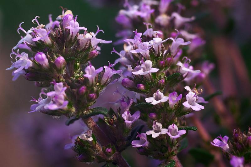 Thymus vulgaris - Thymian