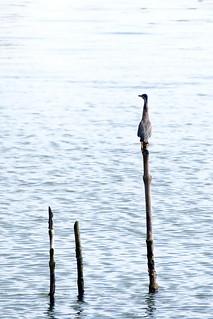sungei buloh - bird | by salazar62