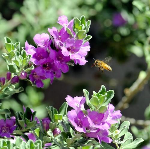 flowers arizona nikon bee buckeye verrado nikond3 nikonafnikkor180mmf28difedlens bwfpro72mmuvhaze1xfilter