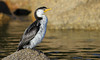 Little Pied Cormorant (Microcarbo melanoleucos) by George Wilkinson