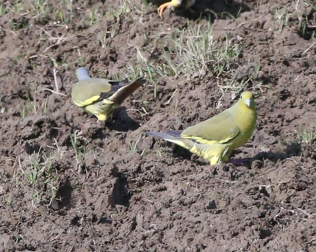 Orange-breasted Green-pigeon  (Treron bicinctus)