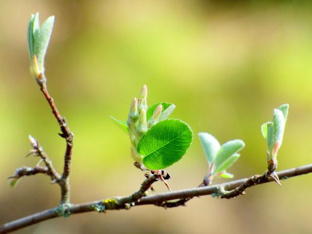 Brotes de hojas de Guillomo