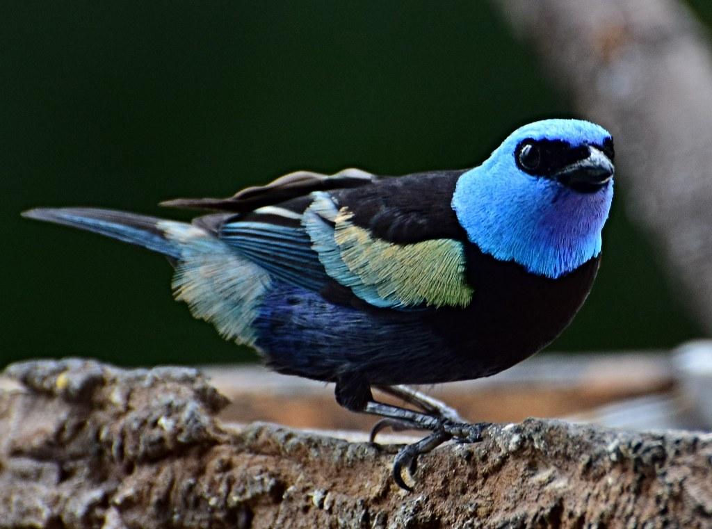 Imagen de una de las aves del Quindio: Tángara real (Tangara cyanicollis)