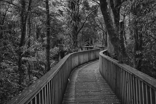 canon 2017 path blackwhite monotone bush forest kauritree newzealand typetoaddleaveblanktoclear aus