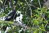 Jacutinga-de-garganta-azul (Aburria cumanensis) - Blue-throated Piping-Guan by RodrigoPB