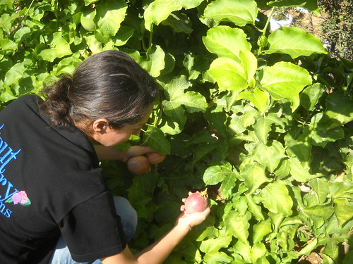 Sarah picking Passion Fruits Deirkoubel b Oct 17, 2015   by toutberryfarms