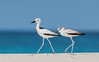 Crab Plover (3 of 3) by tickspics 