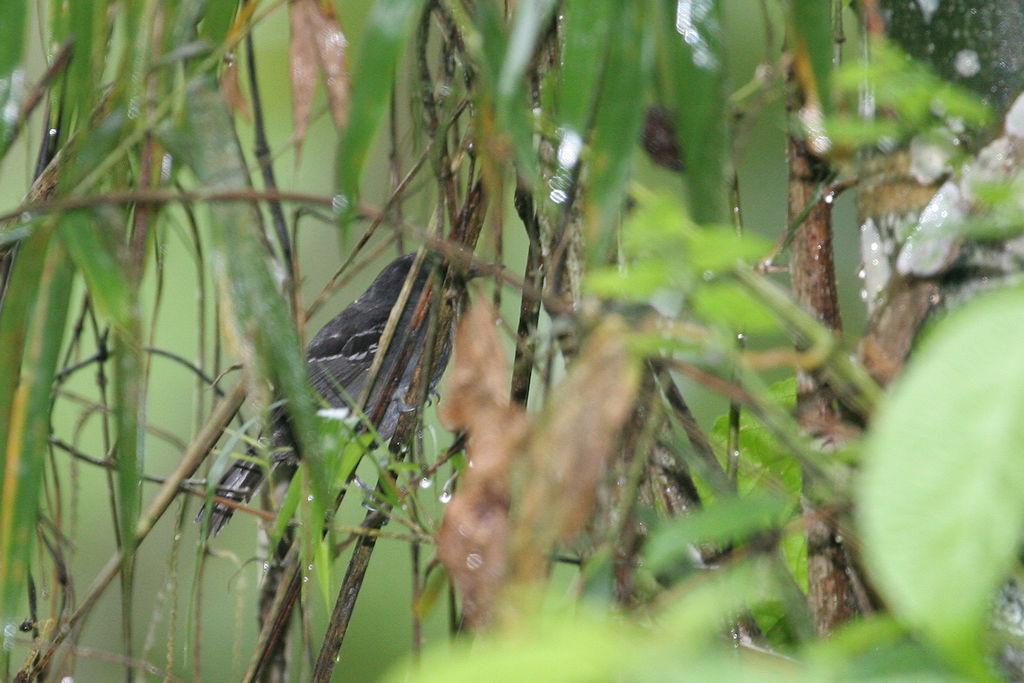 Dusky Antbird - Cercomacra tyrannina - Pichincha, Ecuador - January 15, 2006