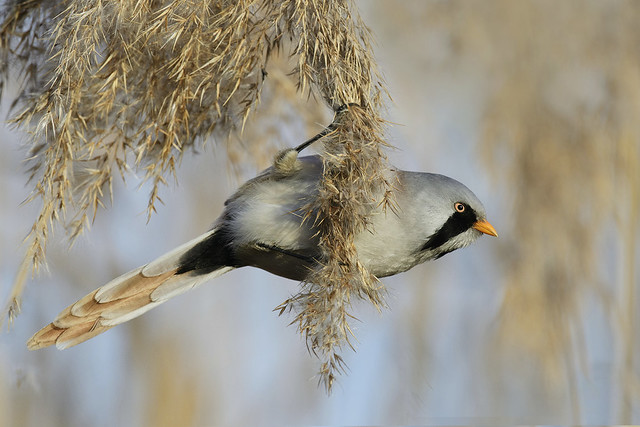 Basettino (m) - Bearded reedling (m)