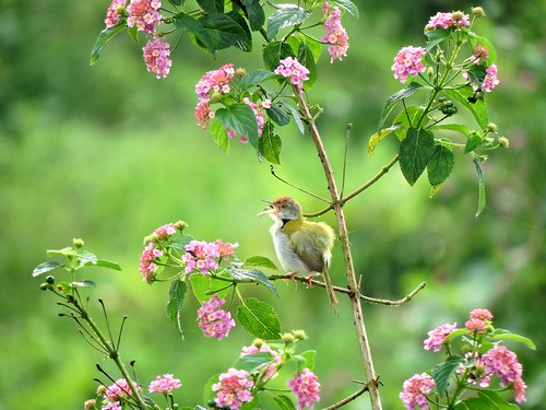 nature birds kerala naturephotography commontailorbird birdsofindia idukki vagamon birdsofkerala