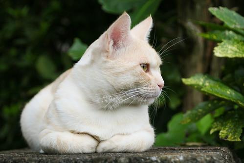 IMG_5985 Cream tabby Japanese cat 薄茶トラ猫