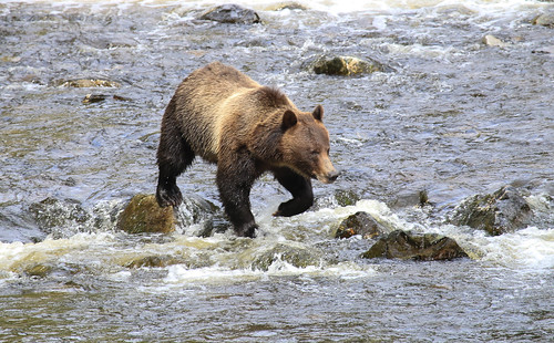 Grizzly fishing | by Chris Parker2012