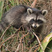Flickr photo 'Raccoon (Procyon lotor) on Cabbage Palm (Sabal palmetto)' by: Mary Keim.