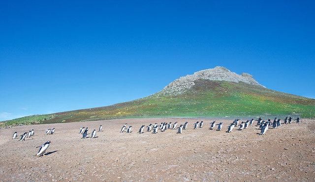 Gentoo Penguins Running off to a Meeting on Steeple Jason in the Falkland Islands