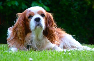 Cavalier King Charles Spaniel | by jfhall