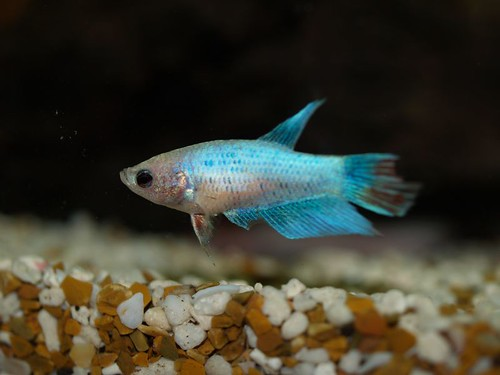 Friend's Fish - Female Betta | by Kasia/flickr