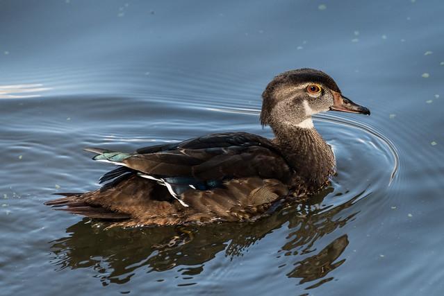 Wood Duck (f)