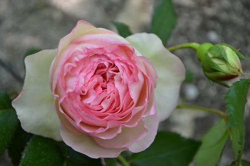 rosier 'Pierre de Ronsard' 32228871634_b51261b0ee