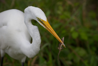 Egret with a lizard | by Rob & Amy Lavoie