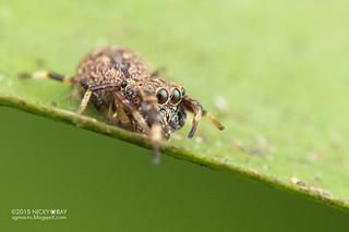 Jumping spider (cf. Zygoballus sp.) - DSC_8575