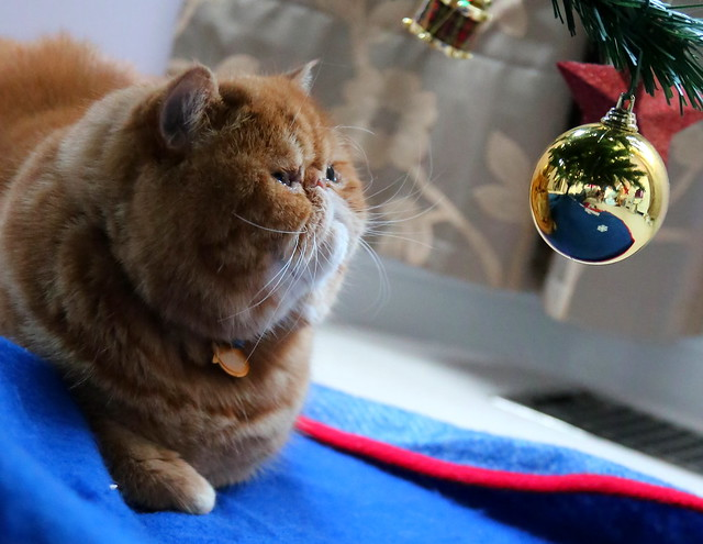 Exotic Shorthair Cat Pictures and Information - Cat-Breeds com