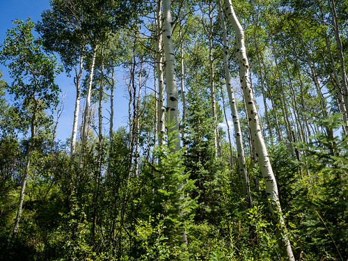 trees summer mountain forest colorado aspen edwards aspentrees