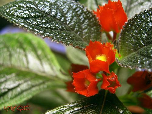 flowers flora flores fleur copperleafplant macro blooms blossoms sunsetbells shrub chrysothemispulchella outdoor plant dof depthoffield garden nature natur naturaleza canon powershota480