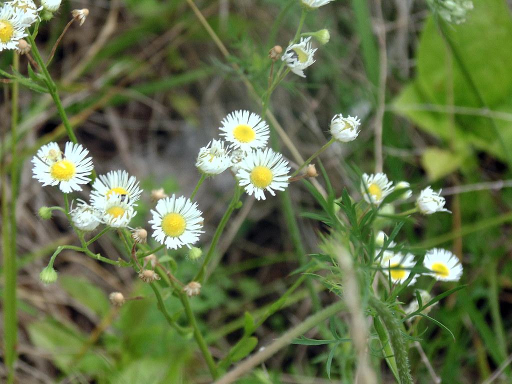 Weed Flowers 4
