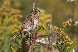 Lincoln's Sparrow, Kankakee Sands FWA, 9-26-15 | by Ryan J Sanderson