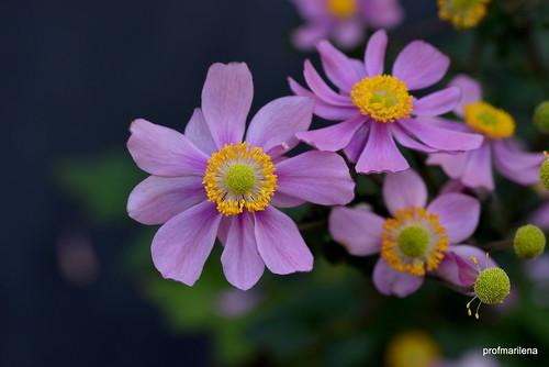 1-DSC_2115 purple joy