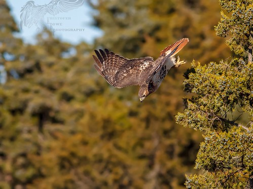 Red Tail Hawk 11_17 1 | by krisinct- Thanks for 15 Million views!