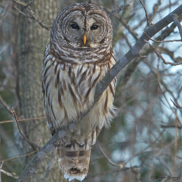 Barred Owl - Hardy Lake (Scott County, IN USA)