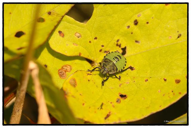 Common Green Shieldbug (4th instar)