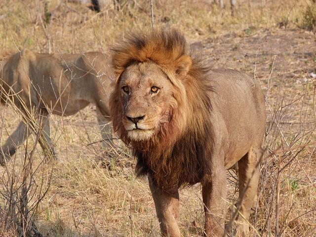 León en África (¿Qué animales forman parte de los Big Five en África?)