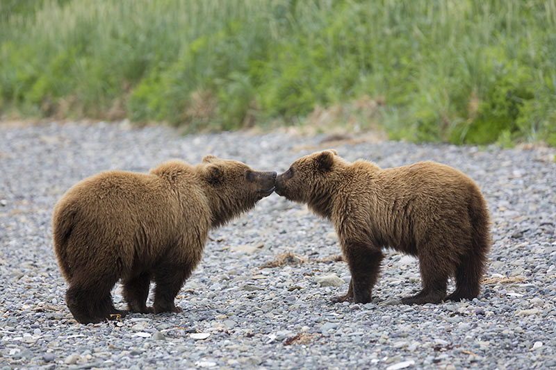 Grizzly Bears, British Columbia, Canada