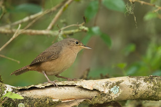 Corruíra - Troglodytes musculus - Southern House Wren | by Luana Bianquini