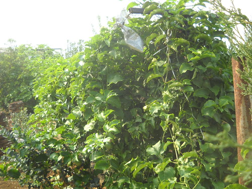 Passion Fruit Plant growing over 3m long Fruiting well b Oct 18, 2015 | by toutberryfarms