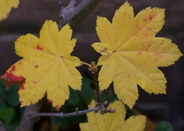 VineMaple_leaves_3750a