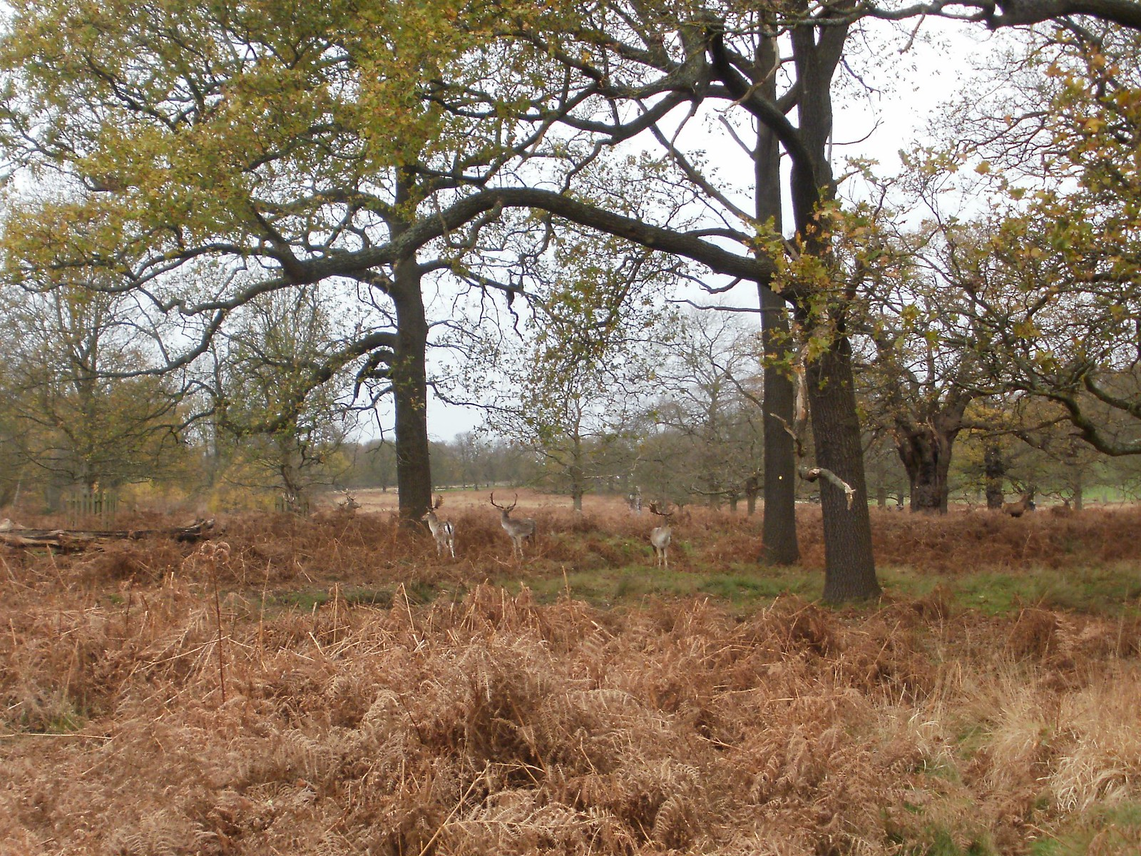 Deer in Richmond Park 3 OLYMPUS DIGITAL CAMERA