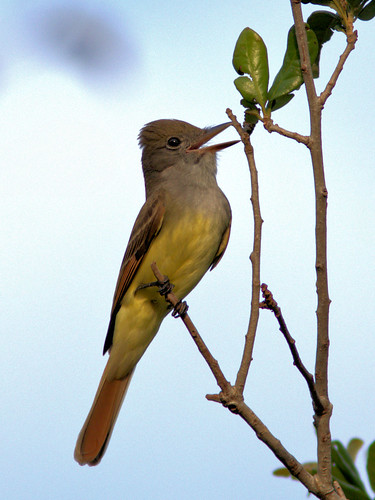 Great Crested Flycatcher 06-20170403