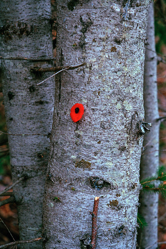 Poppy Tree | by chrism229