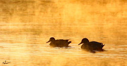 winter duck kennewick pond
