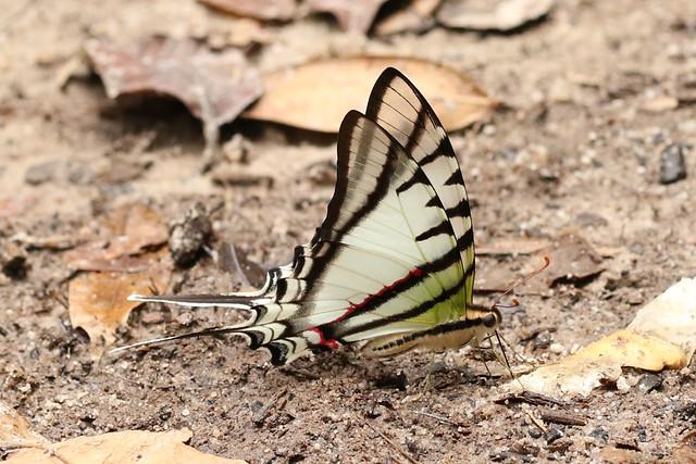Protesilaus glaucolaus - Bates' Swordtail