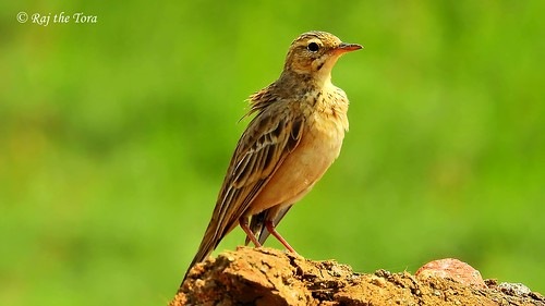 Paddyfield Pipit Portrait | by Raj the Tora