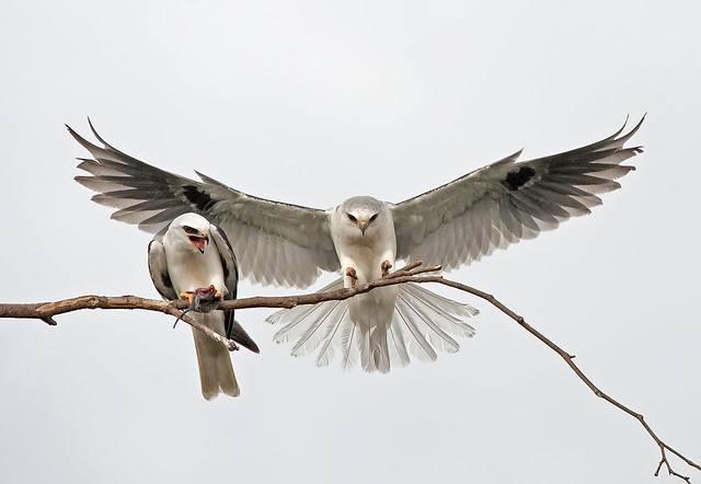 white tailed kites courting