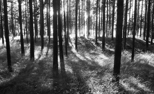July Forest (B&W)