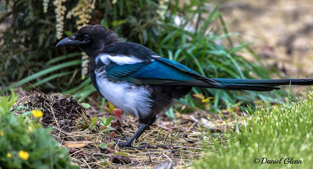 Black-billed Magpie (Pica hudsonia) looking for food