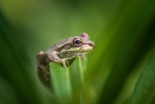 Tree Frog in Tropical Gulf Acres, Florida | by diana_robinson