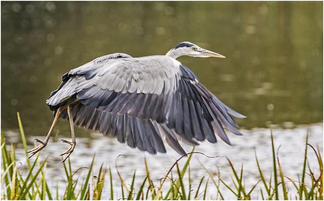 UK Grey Heron