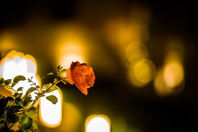The last Rose in November